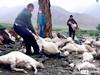 173只羊被雷电死