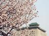 樱花三月邂逅武大