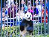 竹子来晚熊猫烦