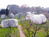 梅花树过冬住帐篷