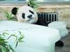 大熊猫靠冰块乘凉