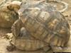 宠物龟交配引火灾