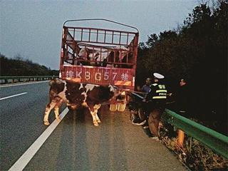 货车牵牛走高速
