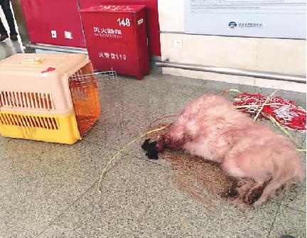 宠物犬空运死亡