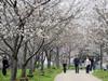 樱花盛开浪漫满城