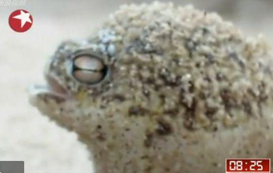 南非雨蛙叫声超萌