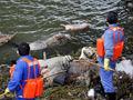 上海松江段现飘浮死猪群 打捞已超过1200头