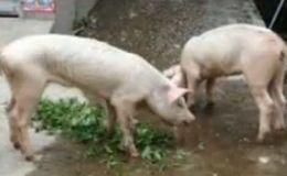 雅安地震后45天挖出两只幸存猪 掉膘暴瘦