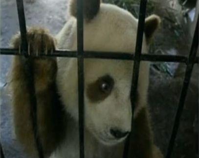 罕见棕色大熊猫