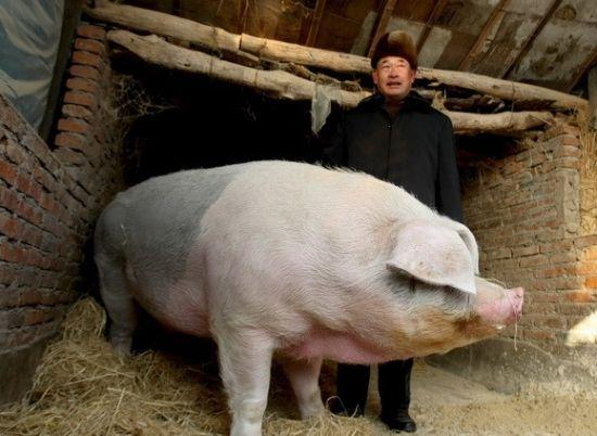 农户养出巨型猪