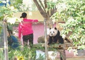 曝大熊猫被逼坐台
