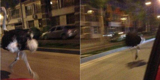 北京街头惊现一只鸵鸟狂奔 速度超汽车