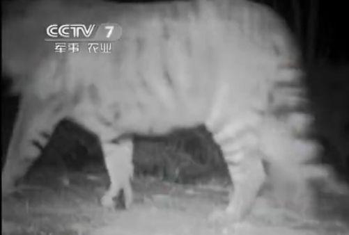 吉林边防士兵夜间巡逻疑拍到野生东北虎