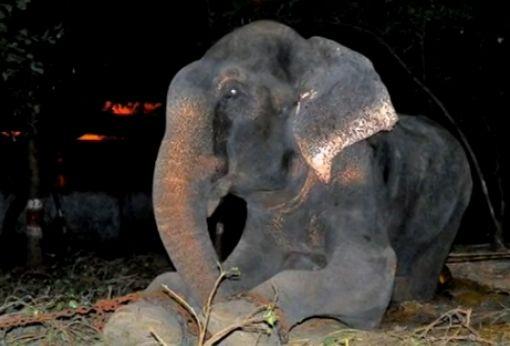 大象被禁锢虐待