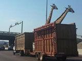长颈鹿被装卡车运送 过高架时头撞桥死亡