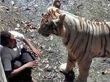 印度男子醉酒跳虎圈 向虎求饶不成丧命