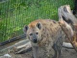 日本动物园搞乌龙 不断逼迫两雄土狼交配