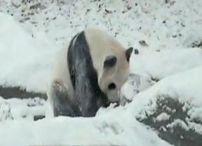 实拍熊猫雪中嬉闹 雪坡打滚滑下萌态可掬