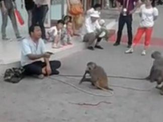 实拍猴子被虐待后发飙街头拿刀砍主人