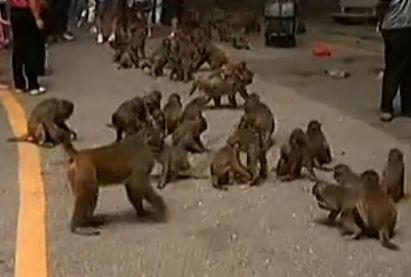 游客违禁喂猴频被咬 男婴睾丸被抓下吞食