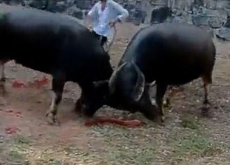 中国乡村斗牛