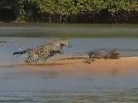 鳄鱼遭美洲豹偷袭
