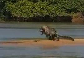 美洲豹闪袭鳄鱼