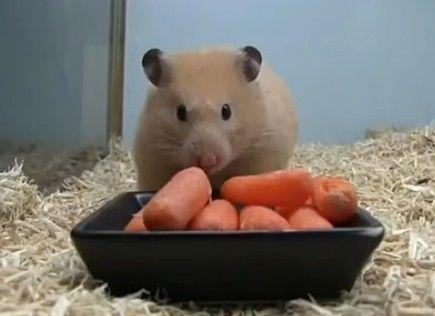超萌仓鼠连吃萝卜