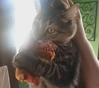 猫咪偷吃不松口
