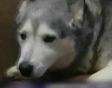 狗贼溜商店偷狗粮