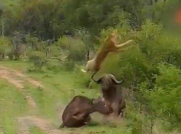 牛顶飞狮子救同伴