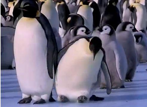 呆猛企鹅冰上滑倒
