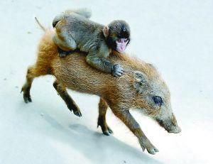 实拍猎人用猴子捕猎野猪 大师兄骑二师兄狂奔