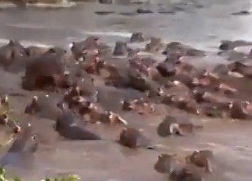 实拍鳄鱼遭河马群殴 无力反抗落荒而逃