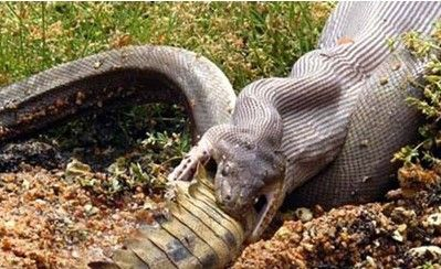 实拍鳄鱼与巨蟒激战后瘫软 被生吞下肚