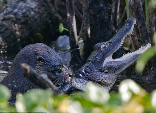 水獭背后偷袭鳄鱼 将其杀死后咀嚼吞食