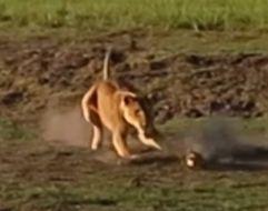 母狮河边捕杀鳄鱼