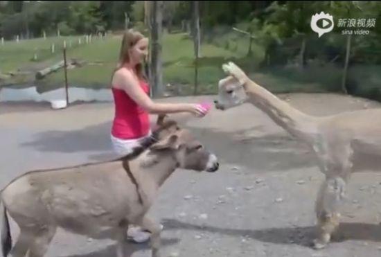 小驴嫉妒美女给羊驼喂食 狂用脚将其踢走
