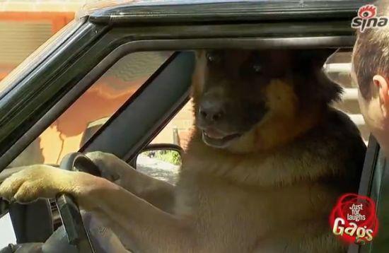 狗狗开车惊呆路人